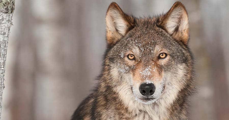 salviamo i lupi